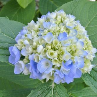 0529 紫陽花