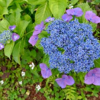 0604 紫陽花