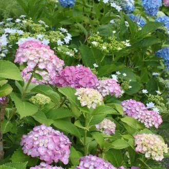 603 紫陽花